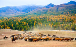 Seasonal livestock migration in Xinjiang China Royalty Free Stock Photography