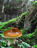 Seasonal mushroom- Cep. Growing in coniferous forest Royalty Free Stock Images