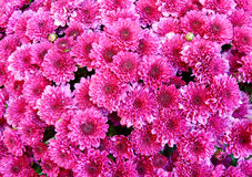 Seasonal pink mums Royalty Free Stock Photo