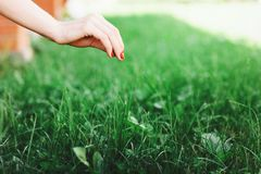 Seasonal planting grass close up. Woman`s hand takes care of the lawn.  stock image
