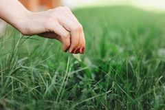 Seasonal planting grass close up. Woman`s hand takes care of the lawn.  royalty free stock image
