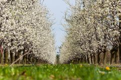 Seasonal spring white plum flowers blossoming. Blossom of plum orchard in Poland royalty free stock photography