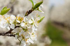 Seasonal spring white plum flowers blossoming. Blossom of plum orchard in Poland royalty free stock photo