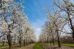 Seasonal spring white plum flowers blossoming. Blossom of plum orchard in Poland stock photography