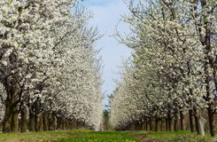Seasonal spring white plum flowers blossoming. Blossom of plum orchard in Poland stock photos