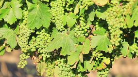 Seasonal vineyard background. Picturesque seasonal background in vineyard with sunset light. White grapes on vine on blurred background with copy space. Margaret stock video