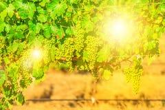 Seasonal vineyard background Stock Images