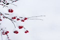 Seasonal winter nature background with red rowan berry under the snow Stock Images