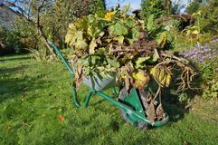 Seasonal work in the autumn garden concept. Wheelbarrow with faded dead plants on grass lawn stock photos
