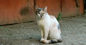 Seasoned feral cat sitting alone outdoors stock video