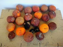 Seasoned oranges. Sicilian Christmas oranges rinsecchite after about 6 months of abandonment Royalty Free Stock Photos