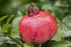Seasoned Pomegranate Stock Photos