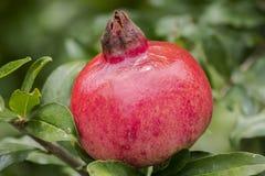 Seasoned Pomegranate stock photos
