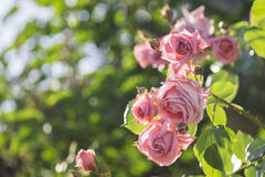 Seasoned Roses Royalty Free Stock Photography