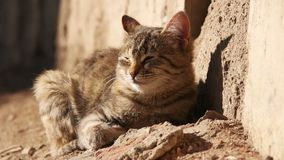 Seasoned stray cat resting in the sun stock video footage