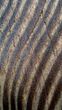 Seasoned Wood Texture. Background and wallpaper presenting dark, wavy tree rings that contrast with the lighter bands, and a cracked, weather-polished surface Stock Photography