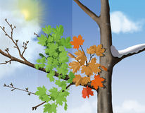 Seasons. A digital illustration of the changing of the seasons using a Maple tree royalty free illustration