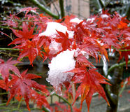 Seasons blending. Snow in autumn on some autumn leaves Royalty Free Stock Images