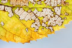 Seasons changes concept. Colorful autumn aspen leaf skeleton textured pattern macro view. Green yellow brown color, transparent or. Ganic aging plant Stock Image