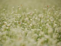 Seasons of flowers, Small white flowers in the meadow and ladybug on a flower, the flower of eriocaulon cinereum pipewort royalty free stock image