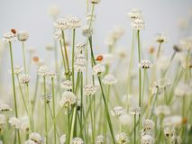 Seasons of flowers, Small white flowers in the meadow and ladybug on a flower, the flower of eriocaulon cinereum pipewort stock images