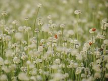 Seasons of flowers, Small white flowers in the meadow and ladybug on a flower, the flower of eriocaulon cinereum pipewort stock image