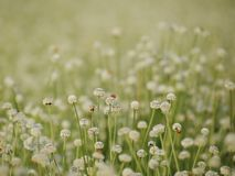 Seasons of flowers, Small white flowers in the meadow and ladybug on a flower, the flower of eriocaulon cinereum pipewort royalty free stock photo