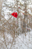 Seasons Greetings. Winter red berries with a dusting of snow in vertical orientation Stock Photo