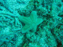 Seastar. Is the animal in phylum Echinoderm Royalty Free Stock Photos