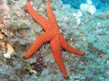 Seastar auf dem Riff Stockfotos