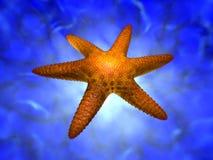 Seastar Royalty Free Stock Photography