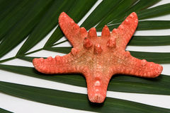 Seastar e palma Immagine Stock