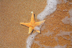 Seastar on the edge of water and sandy coast Stock Images
