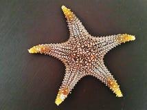 Seastar, keramisches seastar, gelbes beschmutztes seastar, Pentacerastar zart lizenzfreies stockbild