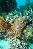 Seastar kroon-van-Doornen Stock Fotografie