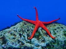 Seastar Royalty Free Stock Image