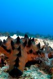 Seastar no recife. imagens de stock royalty free