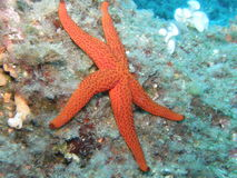 Seastar on the reef Stock Photos