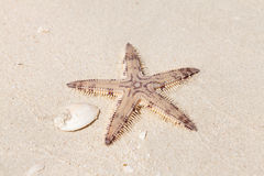 Seastar on the sand of the beach Stock Image