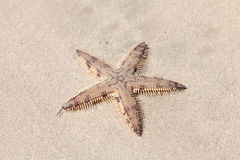 Seastar on the sand of the beach Stock Image