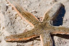 Seastar on sandy beach royalty free stock photography