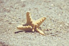 Seastar or sea starfish standing in beach sand. Star fish on background with copy space. Royalty Free Stock Photography