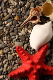 Seastar and seashells Royalty Free Stock Images