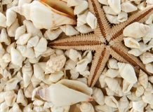 Seastar and shells. Dried seastar and many small white shells fill the entire image area Stock Image