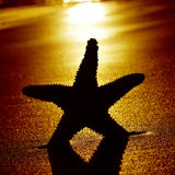 Seastar on the shore of a beach at sunset Stock Photography