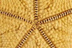 Seastar sjöstjärnabaksida Arkivfoto