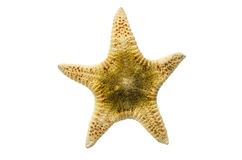 Seastar or Starfish Royalty Free Stock Image