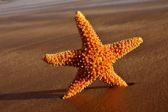 Seastar sulla riva di una spiaggia Immagini Stock