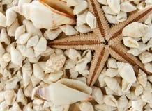 Seastar y shelles Imagen de archivo
