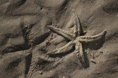 (Seastar) zeester Royalty-vrije Stock Afbeelding